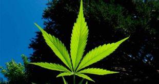 3-Marihuana_Pixabay_150217