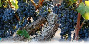 4-uvas